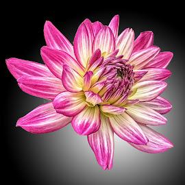 AYLI dahlia 81 by Michael Moore - Flowers Single Flower (  )