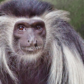 Grandpa by Kelley Hurwitz Ahr - Animals Other Mammals ( kelley ahr, kelley hurwitz ahr, zoo animals )