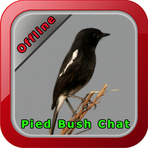 Download Chirping Pied Bush Chat For PC Windows and Mac