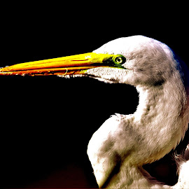 Egret by Cosmo Tamayo - Novices Only Wildlife ( grace, birthday, elegant, south padre island texas, egret )