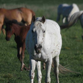Coming In by Darlene Neisess - Animals Horses ( pasture, spotted, equine, horses, herd, horse, appaloosas, indian pony,  )