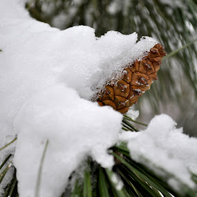 Snowy Cone by Kristina Weber - Nature Up Close Trees & Bushes ( white pine, pine cone, winter, ice, snow, cone )