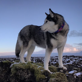 Ronja by Bjarklind Þór - Animals - Dogs Portraits