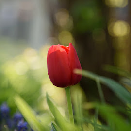Red Tulip at Sundown by Matt Warren - Nature Up Close Gardens & Produce ( color, closeup, garden, tulip, flower )