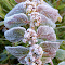 Morning Dew Frost 104_7415 (4).jpg