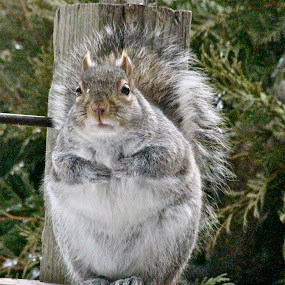 Fat Squirrel Time  by Emily Jones - Animals Other ( winter, furry, fat, cute, squirrel )