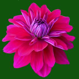 dahlia by SANGEETA MENA  - Flowers Single Flower