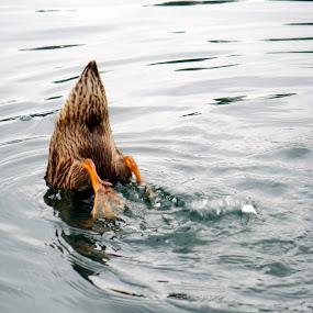 Duck by David Shayani - Animals Birds ( bird, water, webbed feet, duck, pond, mammal, animal )