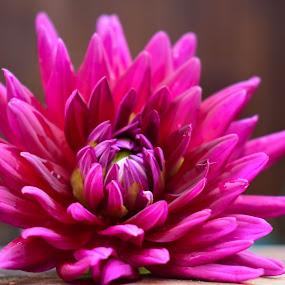 Pretty Dahlia by Tiffany Serijna - Flowers Single Flower ( wild, nature, color, outdoor, tiffanyserijna, vivid, garden, pretty, dahlia, outside, sun, flower,  )