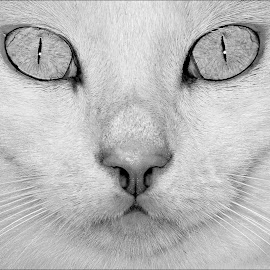 by Adrian Campfield - Animals - Cats Portraits ( monochrome, black and white, furry, eyes, cats, pets, whiskers, dark, portraits, head, light, nose, felines )