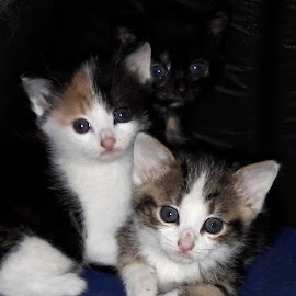 Kittens by Mickael Lambert - Animals - Cats Kittens