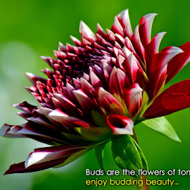 Buds....  by Asif Bora - Typography Quotes & Sentences