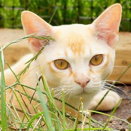 Tom by Caroline Beaumont - Animals - Cats Portraits ( kitten, cat, red burmese, eyes )