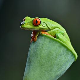 by Sigit Purnomo - Animals Amphibians (  )