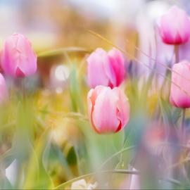 Dreamy Pink Tulips by Darlene Lankford Honeycutt - Digital Art Things ( dreamy, dl honeycutt, pink, tulips, flowers, digital )