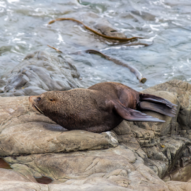 by Vibeke Friis - Animals Amphibians ( seals, rocks,  )