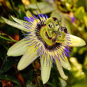 Passiflora blanche by Gérard CHATENET - Flowers Single Flower