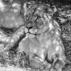 Lioness bw by Rachele Fourie - Animals Lions, Tigers & Big Cats ( lion, roar, black and white, fierce, wildlife, beauty, photography )