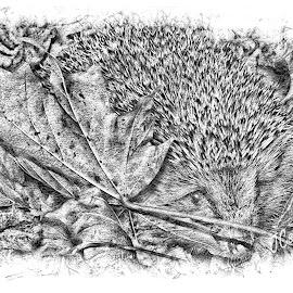 Hedgehog in pencil by John Cuthbert - Drawing All Drawing ( pencil, sketch, hedge hog, nature, art, drawing, animal )