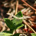 White Checkered Skipper Butterfly