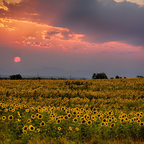 Red Sunset Sunflowers by Heather Diamond - Landscapes Prairies, Meadows & Fields ( clouds, starburst, green, beautiful, colorado, sunflower, scenic, yellow, beauty, glow, drama, sun, rays, field, red, sunset, scenery, natural, flower )