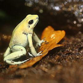 Phyllobate terrible en extension by Gérard CHATENET - Animals Amphibians