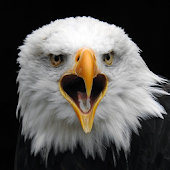 App Wild Bald Eagle Wallpapers apk for kindle fire