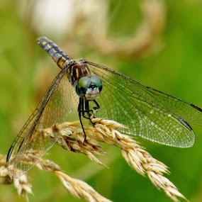 Dragonfly by Howard Sharper - Animals Insects & Spiders ( nature, wildlife, nature up close, insects, dragonfly,  )