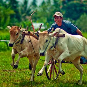Pacuan Roda Sapi.. by Jaka Ferdiyanto - News & Events World Events