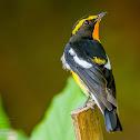 Narcissus Flycatcher ♂