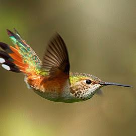 Rufous Hummingbird by Sheldon Bilsker - Animals Birds ( bird, park, nature, hummingbird, animal )