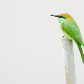 Mr Green by Mahesh Shenoy - Animals Birds ( sitting, bee, green, white, morning, eater, fast, shot )