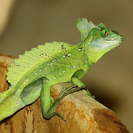 Lezard basilic by Gérard CHATENET - Animals Reptiles (  )
