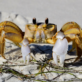 Ghost Crab by Jamie Boyce - Animals Sea Creatures ( sand, nature, florida, wildlife, beach, yellow, ghost crab, crab, , sea creatures, underwater life, ocean life )