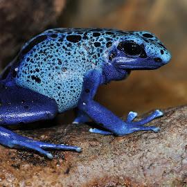 Dendrobates tinctorius Azureus by Gérard CHATENET - Animals Amphibians