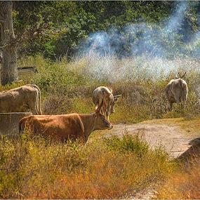 Cattle in Tanji smoke house by Stephen Hooton - Uncategorized All Uncategorized ( gambia )