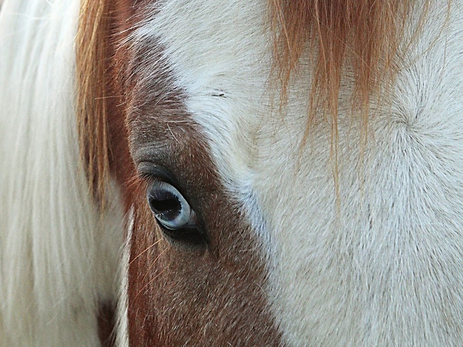 Wild Eye by Ron Meyers - Animals Horses ( horses,  )
