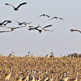 sandhill cranes by Rita Flohr - Novices Only Wildlife ( migration, nebraska cranes, nature, cornfield, landscape, birds, sandhill cranes )