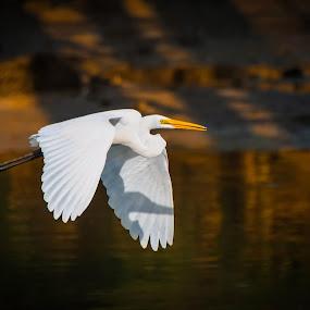 Flight of the great egret by Mahdi Hussainmiya - Animals Birds