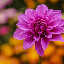 Purple Dahlia #9 by Jim Downey - Flowers Single Flower ( orange, purple flower, dahlia, black, petals )