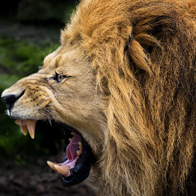 Well Roared by Friedhelm Peters - Animals Other Mammals