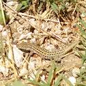 Lagartija / Wall lizard
