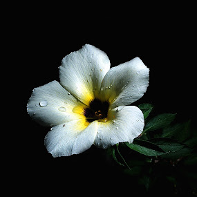 by Zakaria Sahli - Nature Up Close Flowers - 2011-2013 ( canon, zakaria sahli, still life, white, flowers )