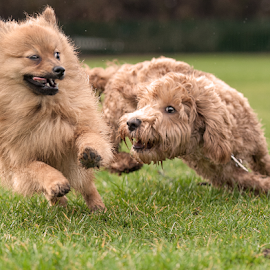 catch me if you can by Michael  M Sweeney - Animals - Dogs Running ( dogs, play, puppy, fun, michael m sweeney, run, dog, nikon )