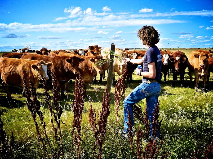 Cows and I by Dustin Wawryk - Landscapes Prairies, Meadows & Fields