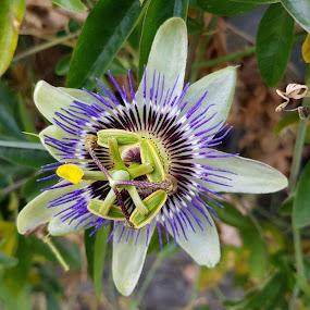 Passiflora by Patrizia Emiliani - Flowers Single Flower (  )