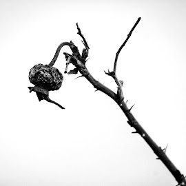 Rosehip  by Todd Reynolds - Black & White Flowers & Plants