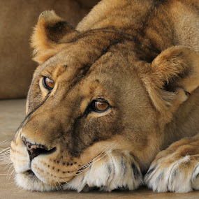 Lioness by Maureen Figueira - Animals Lions, Tigers & Big Cats ( animal lion lioness cat eyes,  )