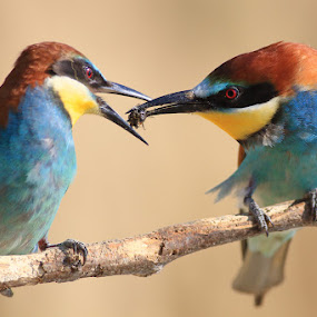 Lunch time by Ivan Stulic - Animals Birds ( bird, merops apiaster, wildlife, bug, lunch, bee eater )
