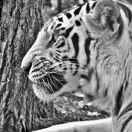 Kya by Gary Ambessi - Black & White Animals
